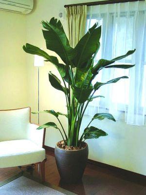 バナナの木を、観葉植物として、お部屋に置いている方もいます。の画像